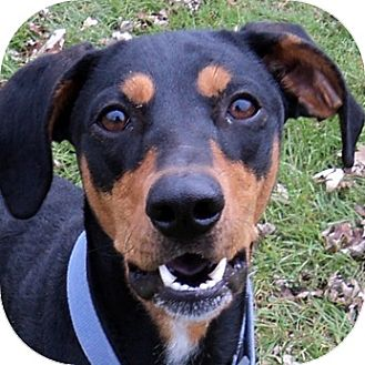 Doberman Pinscher/Rottweiler Mix Dog for adoption in Ithaca, New York - Riley