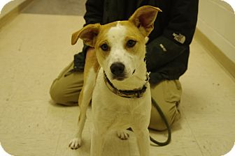 Jack Russell Terrier Mix Dog for adoption in Elyria, Ohio - Suzie