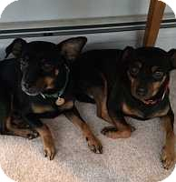Miniature Pinscher Dog for adoption in Syracuse, New York - Johnny