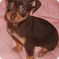 Adopt A Pet :: Chih Puppy - Aloha, OR