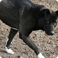 Adopt A Pet :: Storm - Virginia Beach, VA