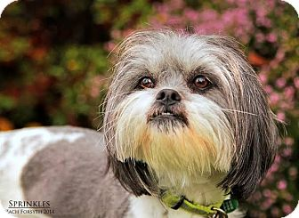 Tibetan Terrier Mix Dog for adoption in Portland, Oregon - Sprinkles