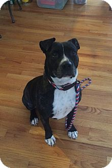 Boxer/Terrier (Unknown Type, Medium) Mix Dog for adoption in East Hartford, Connecticut - Luna in CT