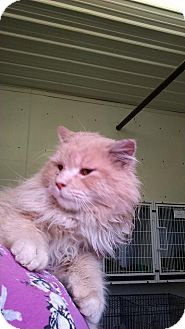 Domestic Longhair Cat for adoption in Mt. Vernon, Illinois - Mel