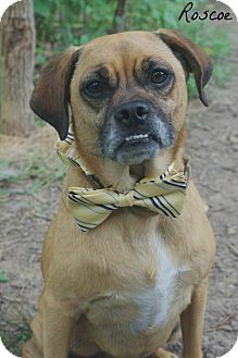 Pug/Beagle Mix Dog for adoption in South Park, Pennsylvania - Roscoe