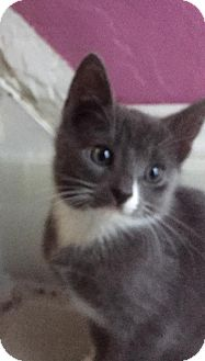 Russian Blue Kitten for adoption in Nesquehoning, Pennsylvania - Einstein