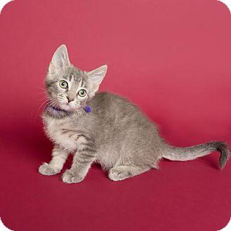 Domestic Shorthair Kitten for adoption in Columbia, Illinois - Button