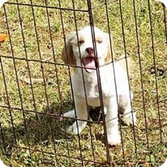 Shih Tzu Mix Puppy for adoption in Wilminton, Delaware - Charlie