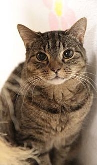 Domestic Shorthair Cat for adoption in Freeport, New York - Tango