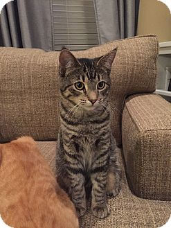 Domestic Shorthair Cat for adoption in Cincinnati, Ohio - Tiggie