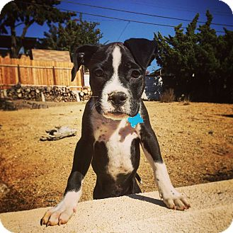 Boxer/Pit Bull Terrier Mix Puppy for adoption in Redondo Beach, California - Tonka-ADOPT Me!