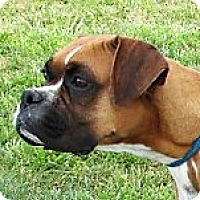 Boxer Dog for adoption in Germantown, Maryland - Kylee