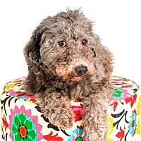 Adopt A Pet :: Spencer - St. Louis Park, MN