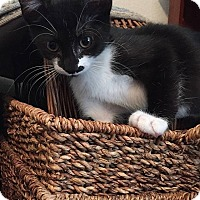 Adopt A Pet :: Audrey Hepburn - Tampa, FL
