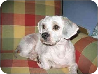 Lhasa Apso Dog for adoption in Muskegon, Michigan - WINSTON