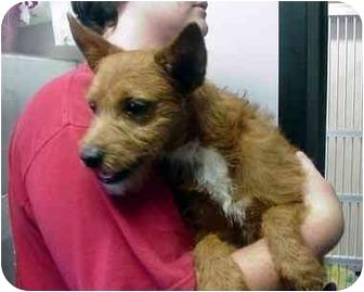 Terrier (Unknown Type, Medium) Mix Dog for adoption in Manassas, Virginia - will
