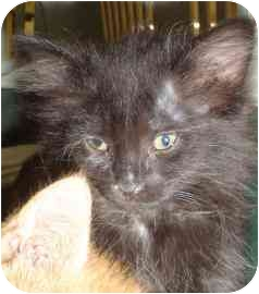 Domestic Mediumhair Kitten for adoption in Walker, Michigan - Marie