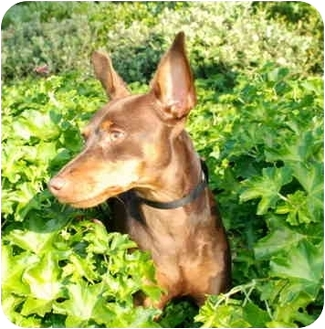 Miniature Pinscher Dog for adoption in San Clemente, California - Jaegar