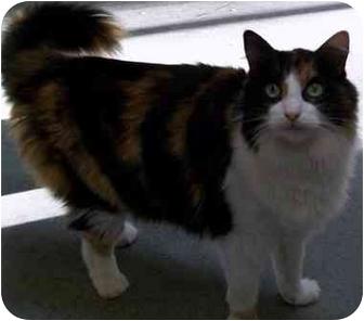 Domestic Mediumhair Cat for adoption in Salt Lake City, Utah - Annie