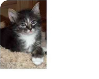 Maine Coon Kitten for adoption in Houston, Texas - Jenny