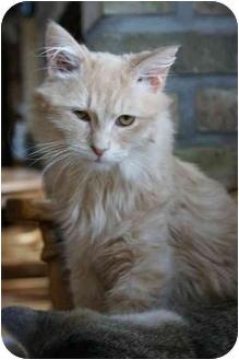Domestic Longhair Cat for adoption in Sheboygan, Wisconsin - Sheldon