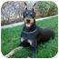 Photo 1 - Doberman Pinscher Dog for adoption in Las Vegas, Nevada - Zsa Zsa