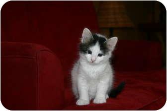 Domestic Shorthair Kitten for adoption in Randolph, New Jersey - Pongo