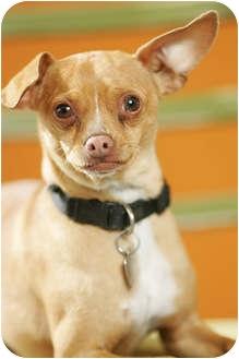 Chihuahua/Miniature Pinscher Mix Dog for adoption in Portland, Oregon - Lugnut
