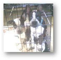 Boston Terrier Mix Dog for adoption in Proctorville, Ohio, Ohio - Sabrina