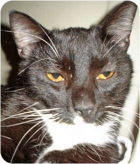 Domestic Shorthair Cat for adoption in Mesquite, Texas - Pumpkin Head