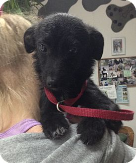 Terrier (Unknown Type, Small)/Dachshund Mix Puppy for adoption in Encinitas, California - Puma