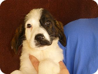 Sheltie, Shetland Sheepdog Mix Puppy for adoption in Oviedo, Florida - Gracie