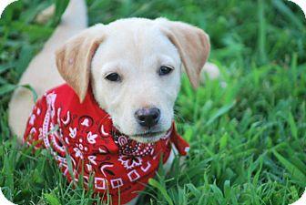 Labrador Retriever Mix Puppy for adoption in Brattleboro, Vermont - Piper