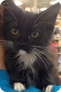 Domestic Longhair Kitten for adoption in Walker, Louisiana - Penelope