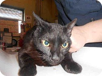 Domestic Mediumhair Cat for adoption in Indianapolis, Indiana - SISSY