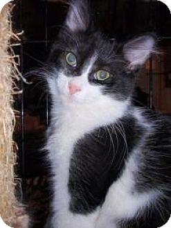 Domestic Mediumhair Cat for adoption in East Brunswick, New Jersey - Winston