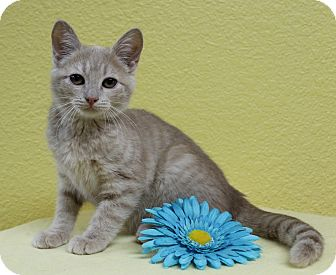 Domestic Shorthair Kitten for adoption in Benbrook, Texas - Snowflake