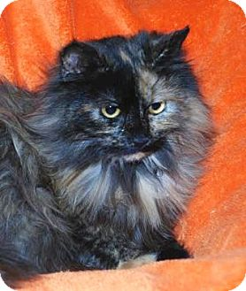 Domestic Longhair Cat for adoption in Walworth, New York - Lexi