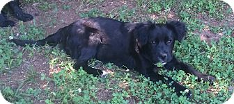 Flat-Coated Retriever Mix Dog for adoption in North Brunswick, New Jersey - Rumor