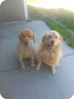 Golden Retriever Mix Dog for adoption in Roslyn, Washington - Sampson and Jake