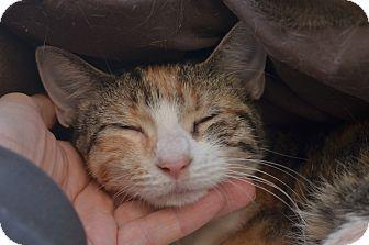 American Shorthair Cat for adoption in Brooklyn, New York - Rainbow