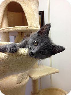 Domestic Shorthair Kitten for adoption in Austintown, Ohio - Evi