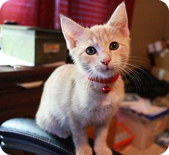 Domestic Shorthair Kitten for adoption in Huntsville, Alabama - Titan