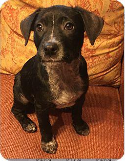 Labrador Retriever/Pointer Mix Puppy for adoption in Rochester, New Hampshire - Rapunzel