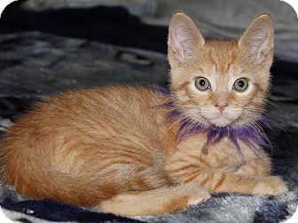 Domestic Shorthair Kitten for adoption in Hamilton., Ontario - Mango