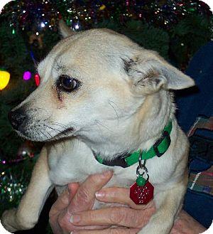 Chihuahua Mix Dog for adoption in Tehachapi, California - Squiggles