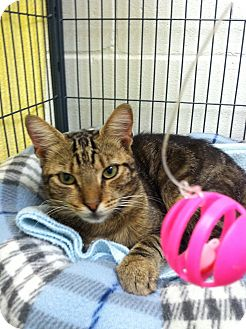 Domestic Shorthair Cat for adoption in Barnwell, South Carolina - Peanut