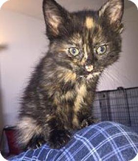 Domestic Shorthair Kitten for adoption in Middletown, Ohio - Charlie