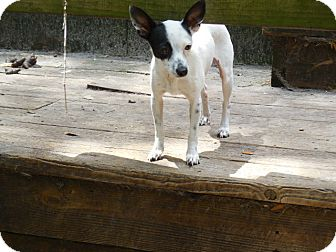 Italian Greyhound Mix Dog for adoption in Old Town, Florida - Basil