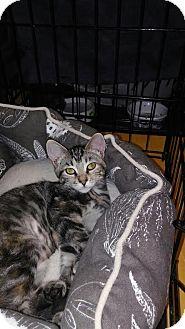 Domestic Shorthair Kitten for adoption in Alamo, California - Buttercup